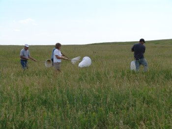 Harvesting Flea Beetles for transplanting